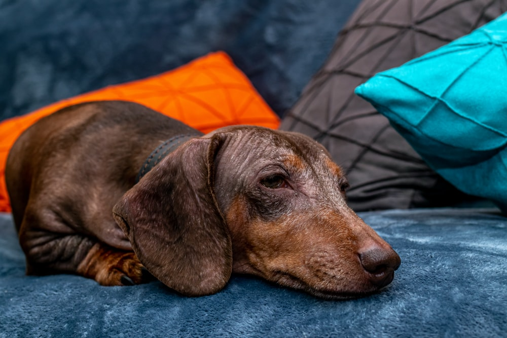 short-coat brown dog lying on grey textile