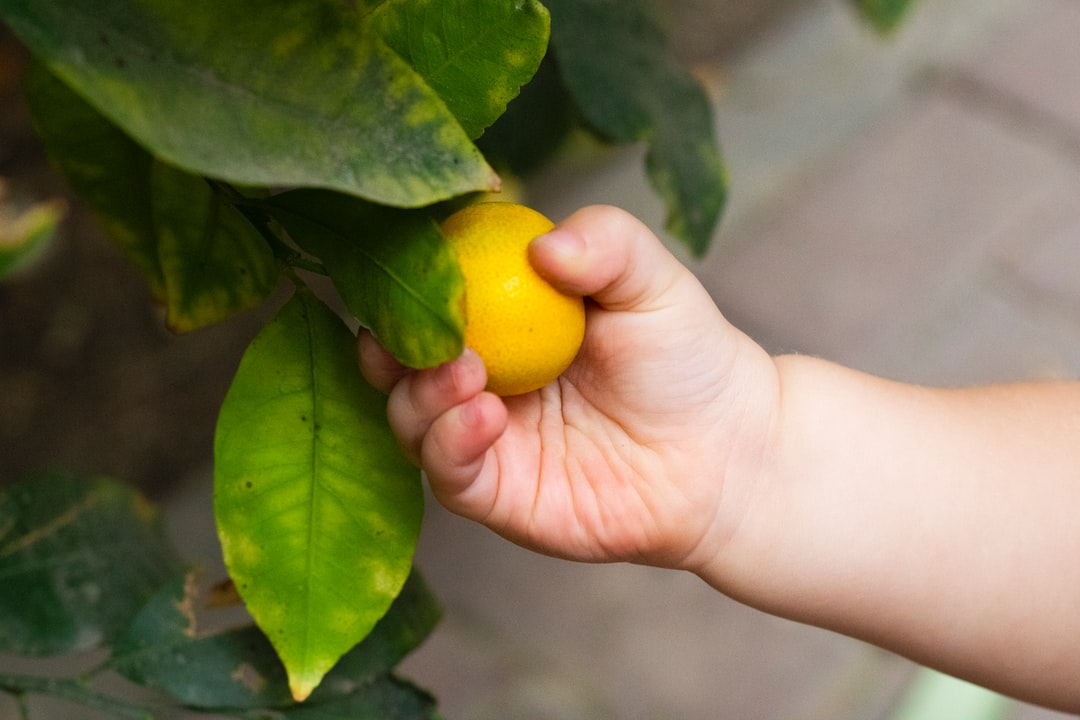 A toddler holds an orange growing on the tree