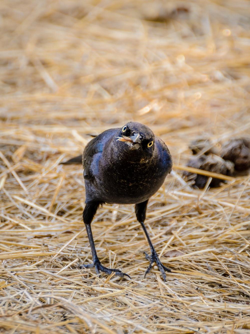 black crow on brown hay