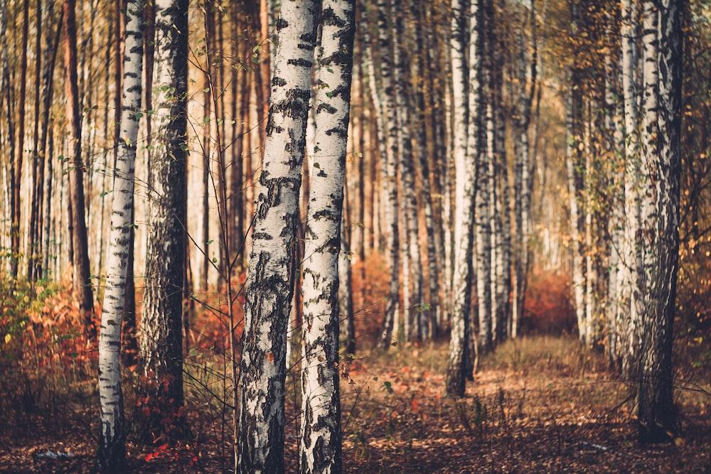 birch tree trunks during daytime
