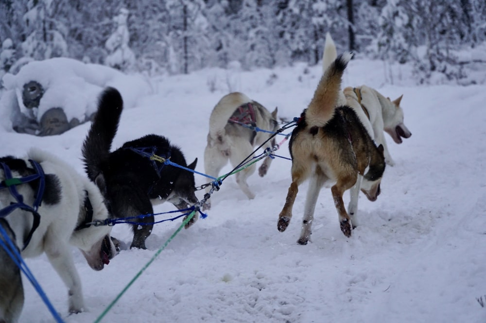 dogs running on snow