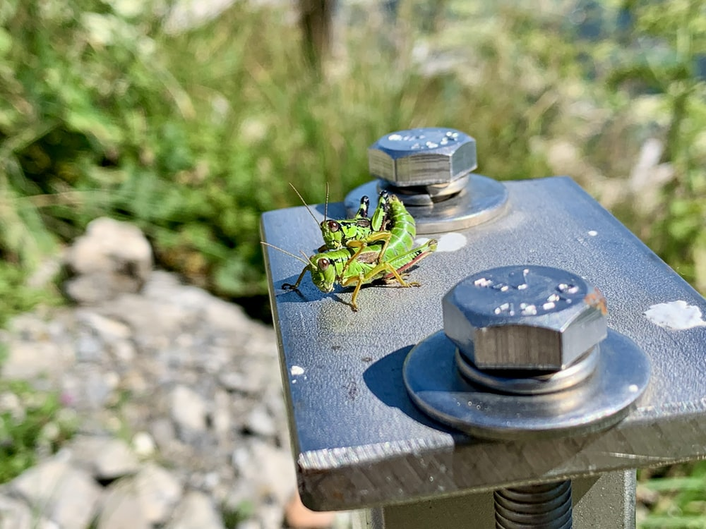 two green grasshoppers on gray metal post