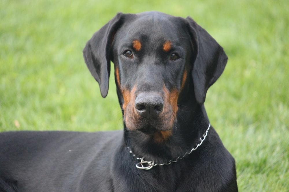 adult black dog