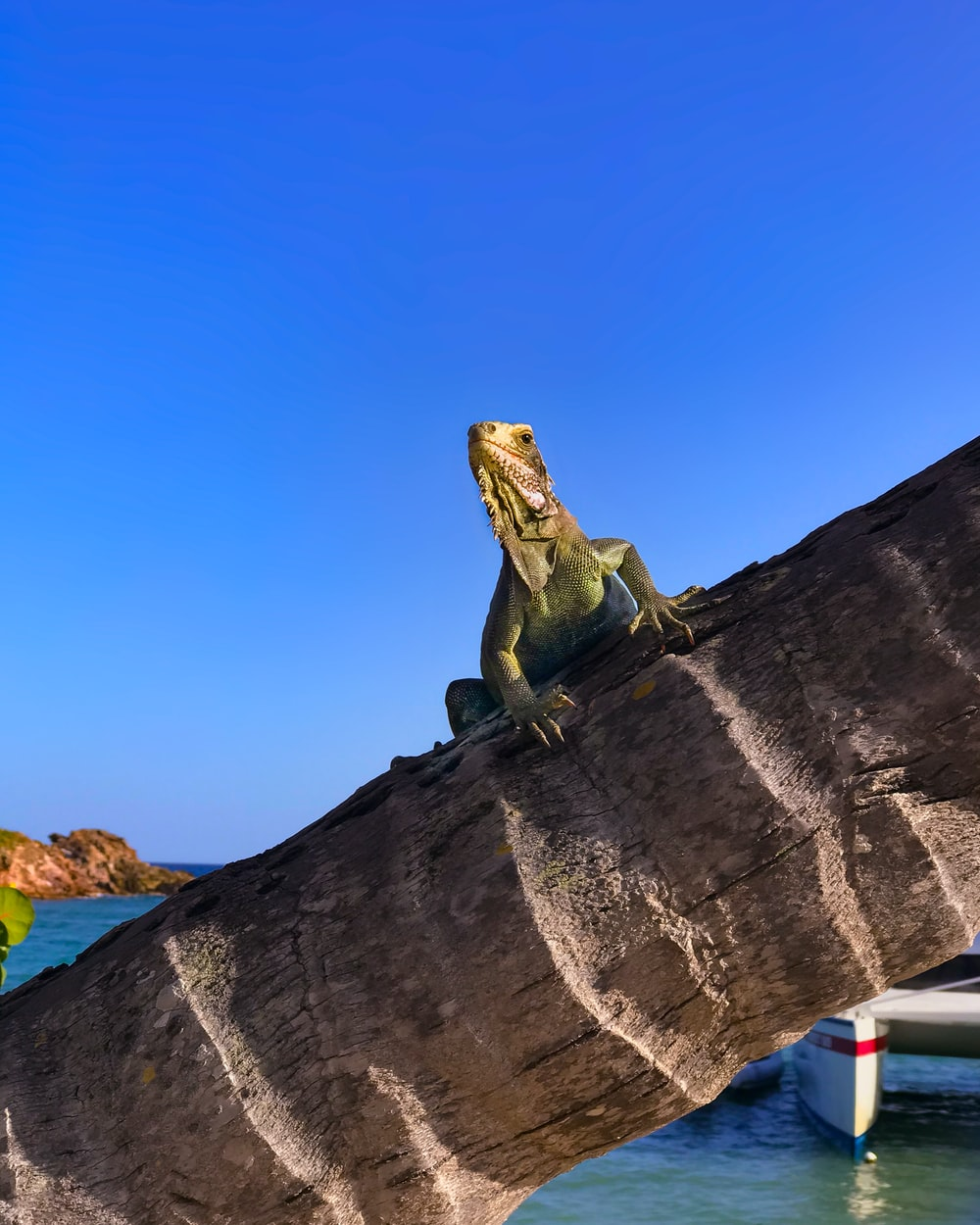 brown iguana on palm tree