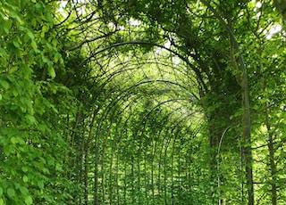 green vine plants on arc covered pathways