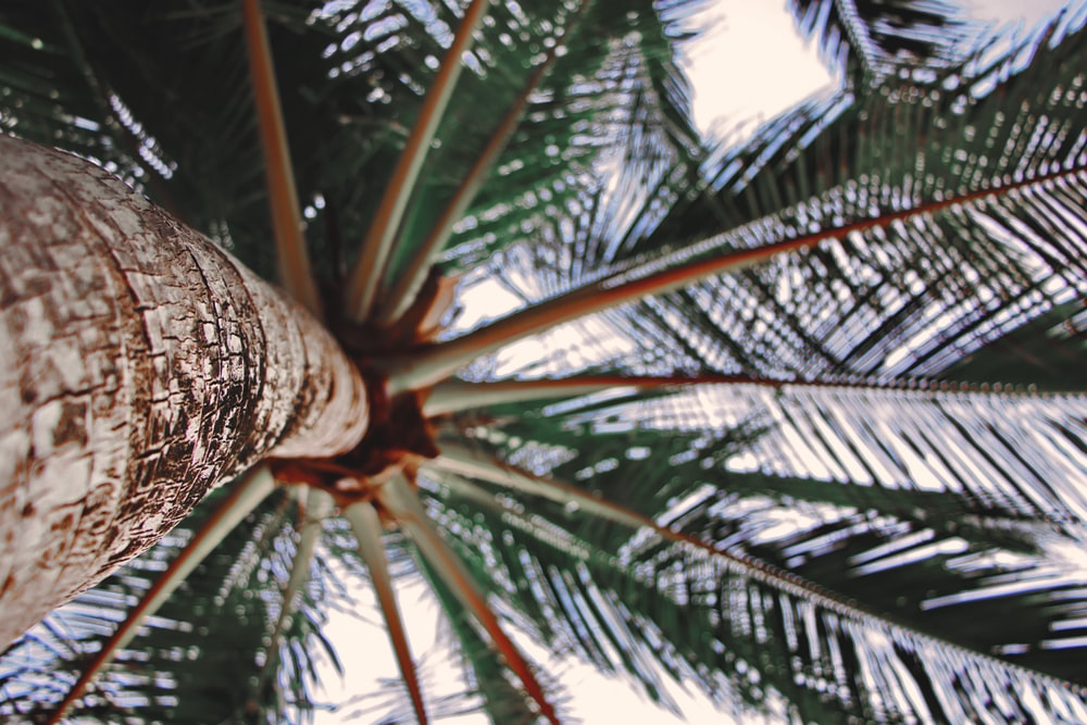 brown and green coconut tree