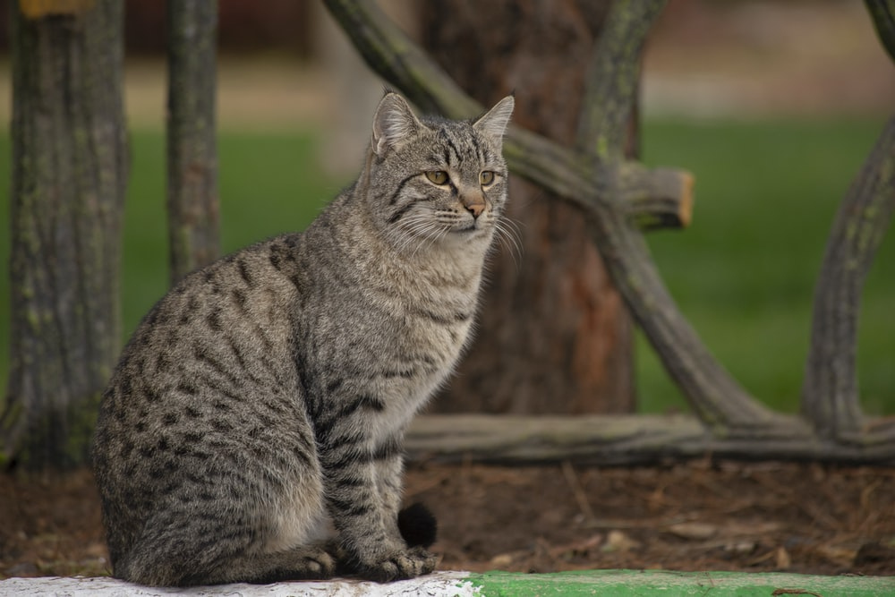 silver tabby cat sitting on floor
