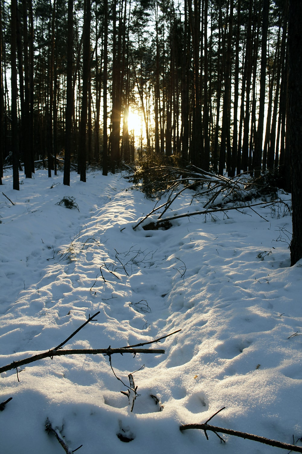 trees in snow forest