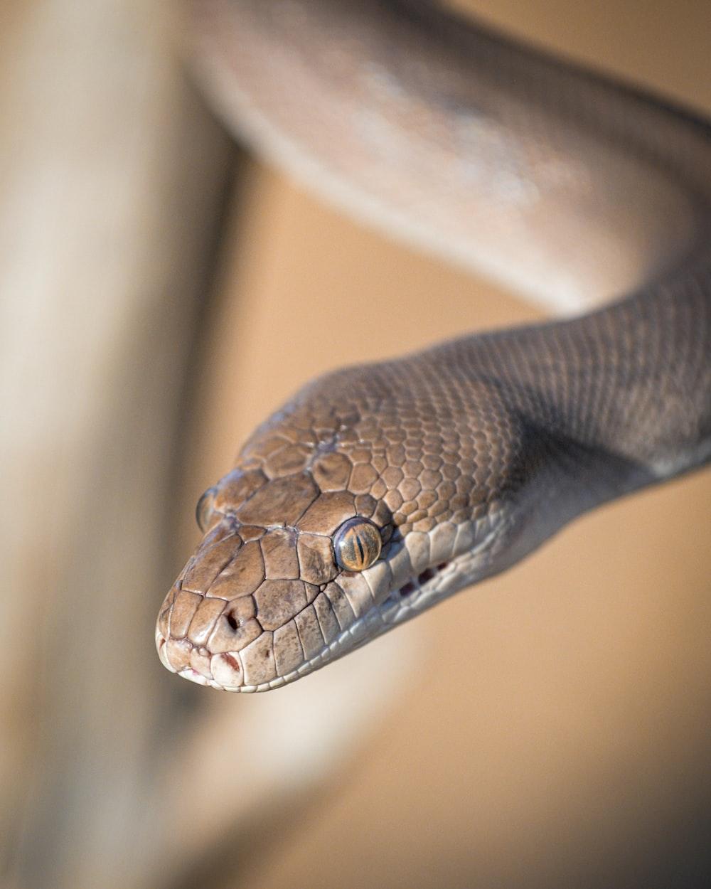 gray and brown snake