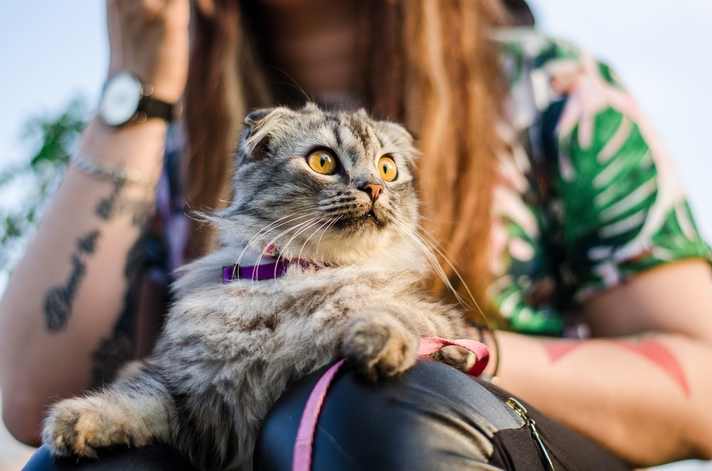 brown tabby cat on woman's lap