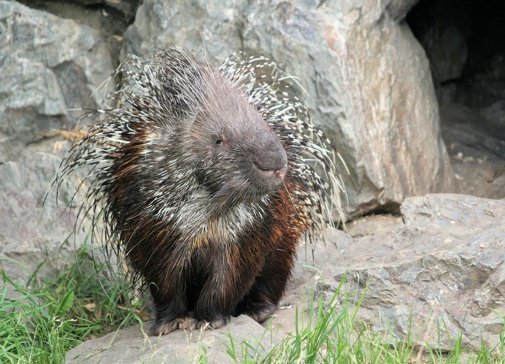 new world porcupine