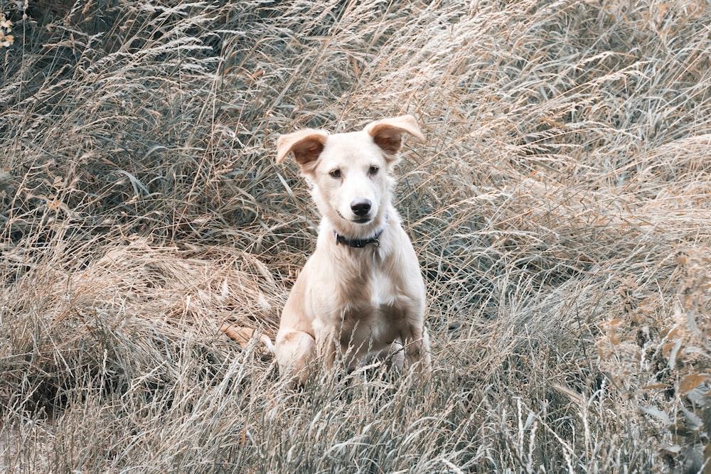 beige puppy on grass field