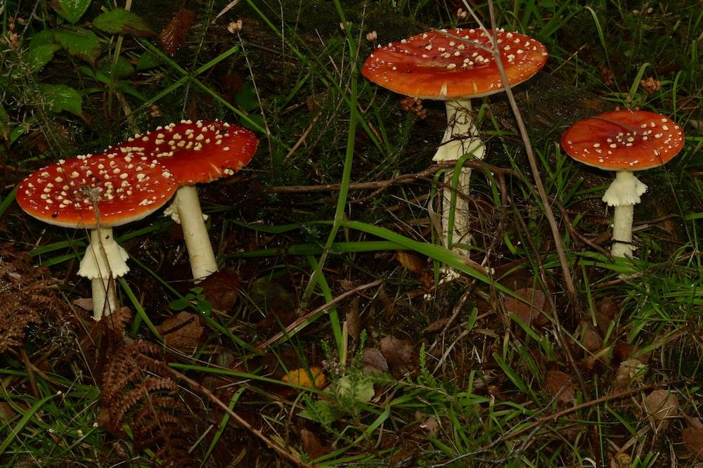red mushrooms on grass field