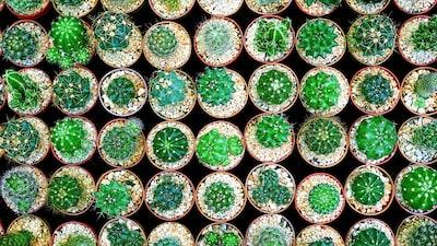 green cactus lot