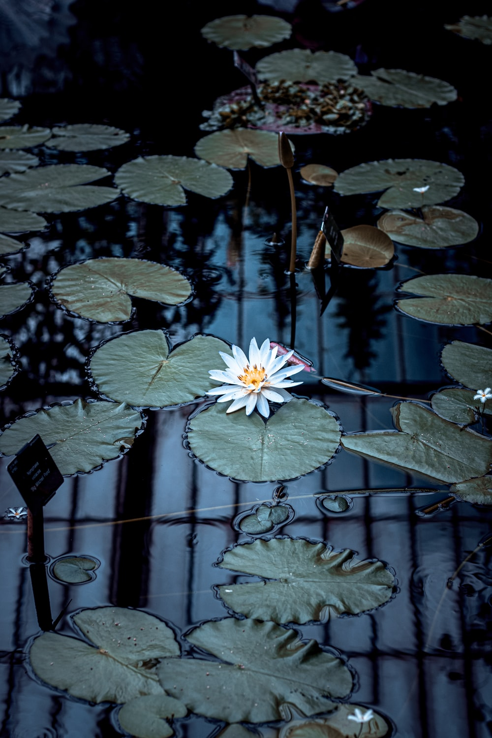 white lily on lily pad