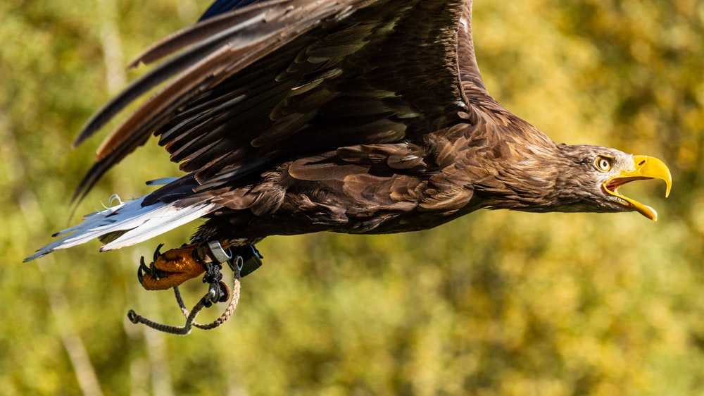 selective focus photography of flying brown and white eagle during daytime