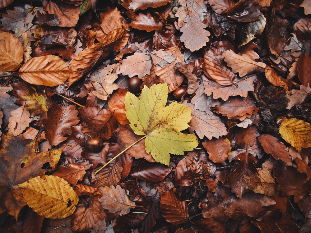 green and brown maple leaves on ground
