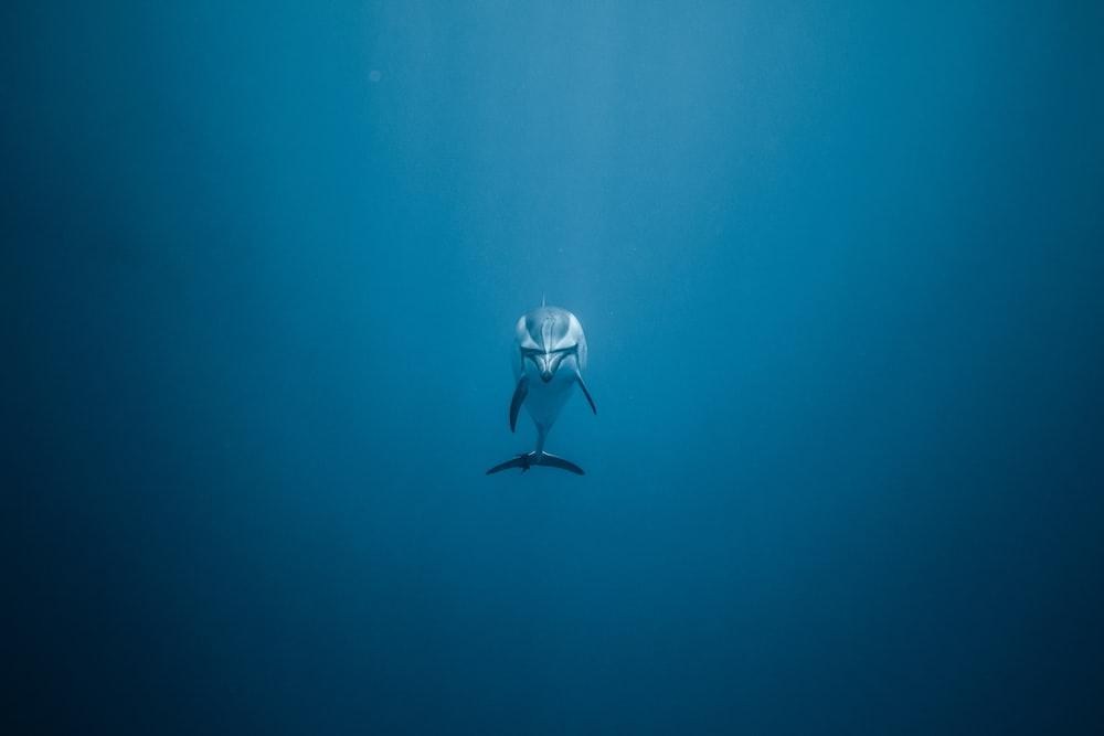gray dolphin underwater