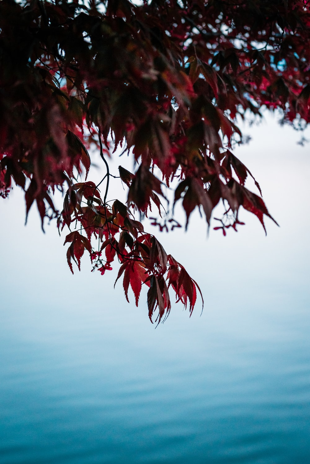 calm water by maroon leafed tree