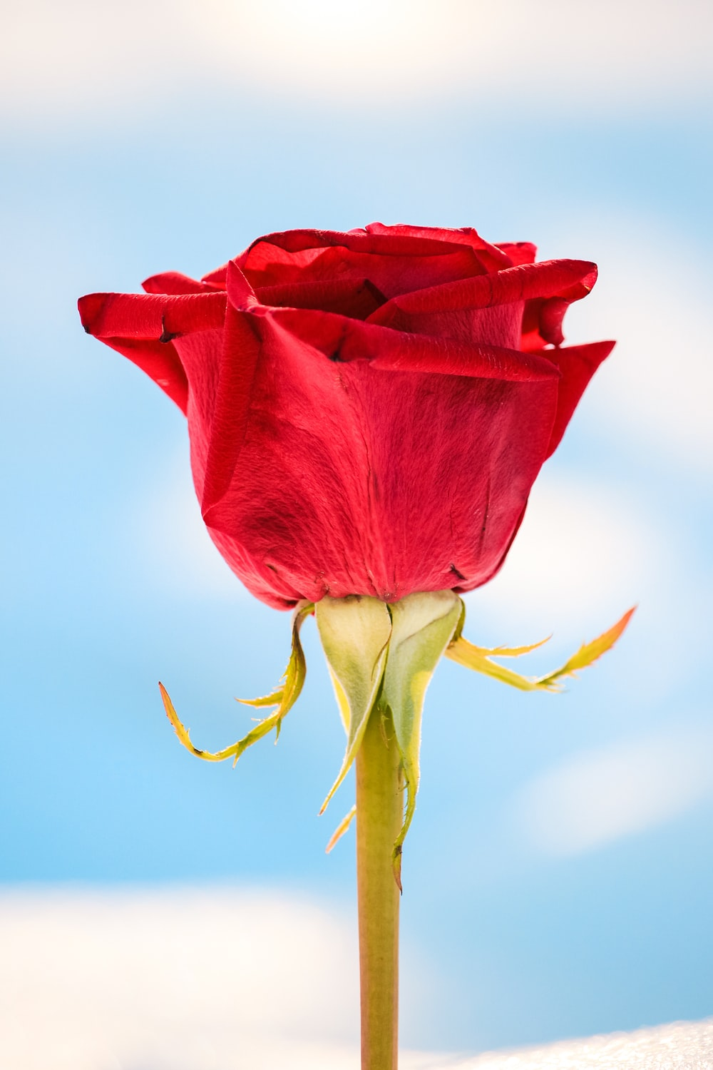 350 Love Rose Pictures Download Free Images Stock Photos On Unsplash