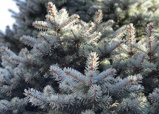 pinetree during daytime