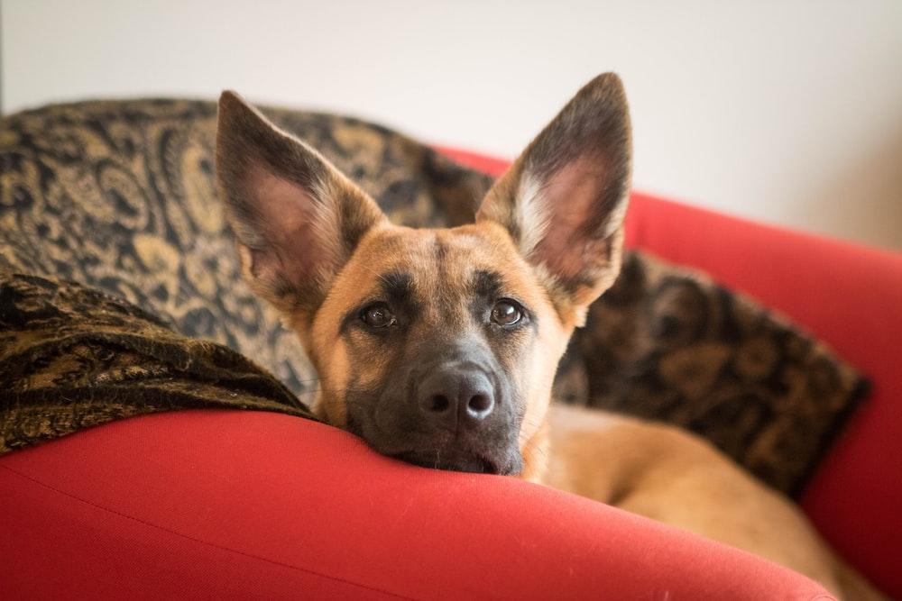 tan short-coated dog