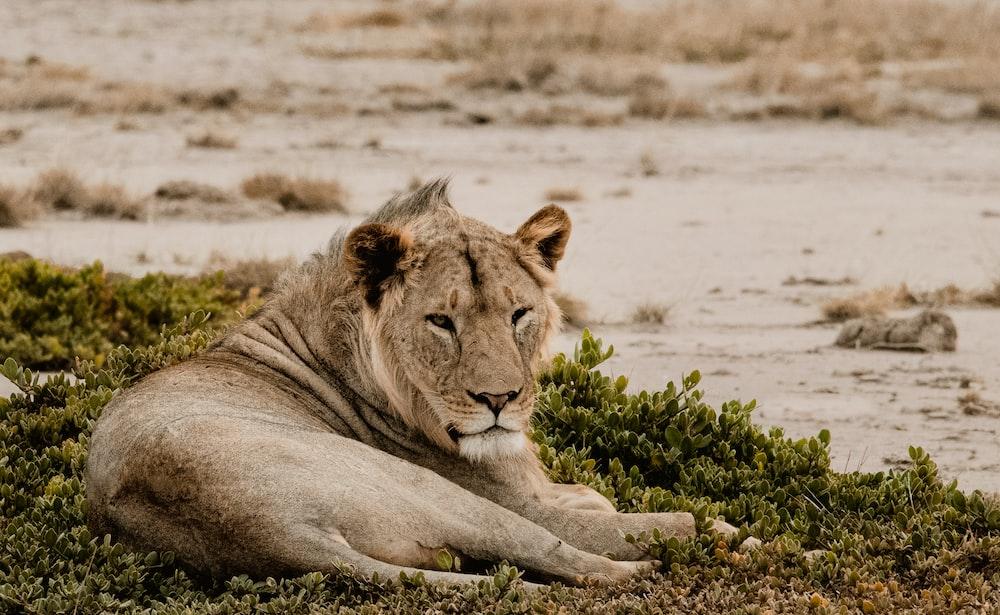 Lion lying on grass