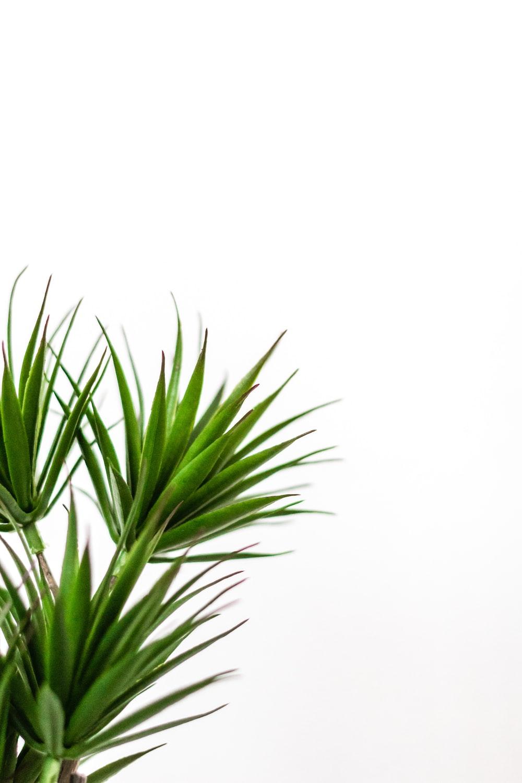 linear greeb leaf plant