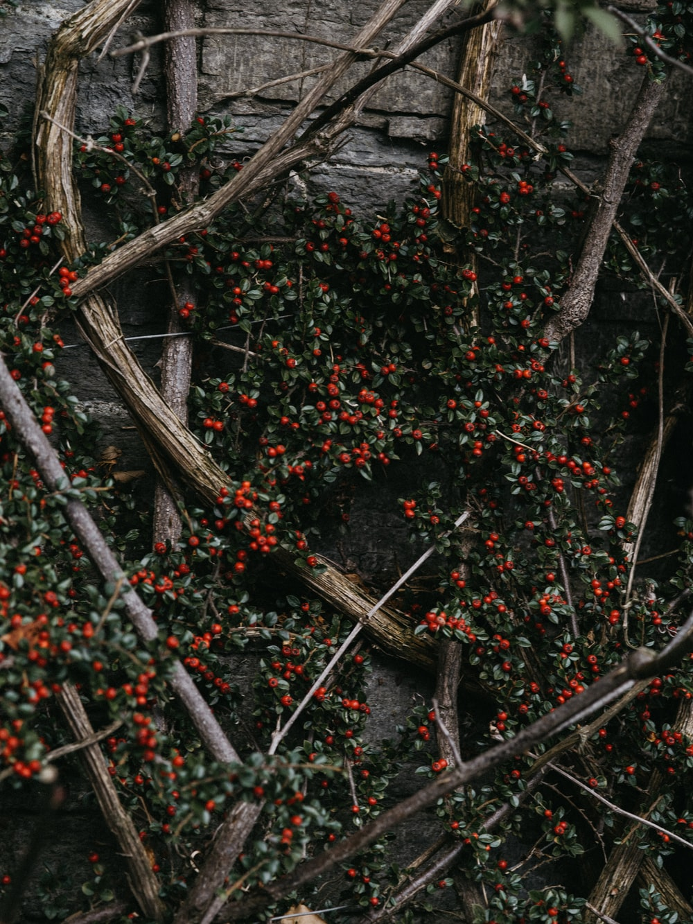 green-leafed plant with red cherries