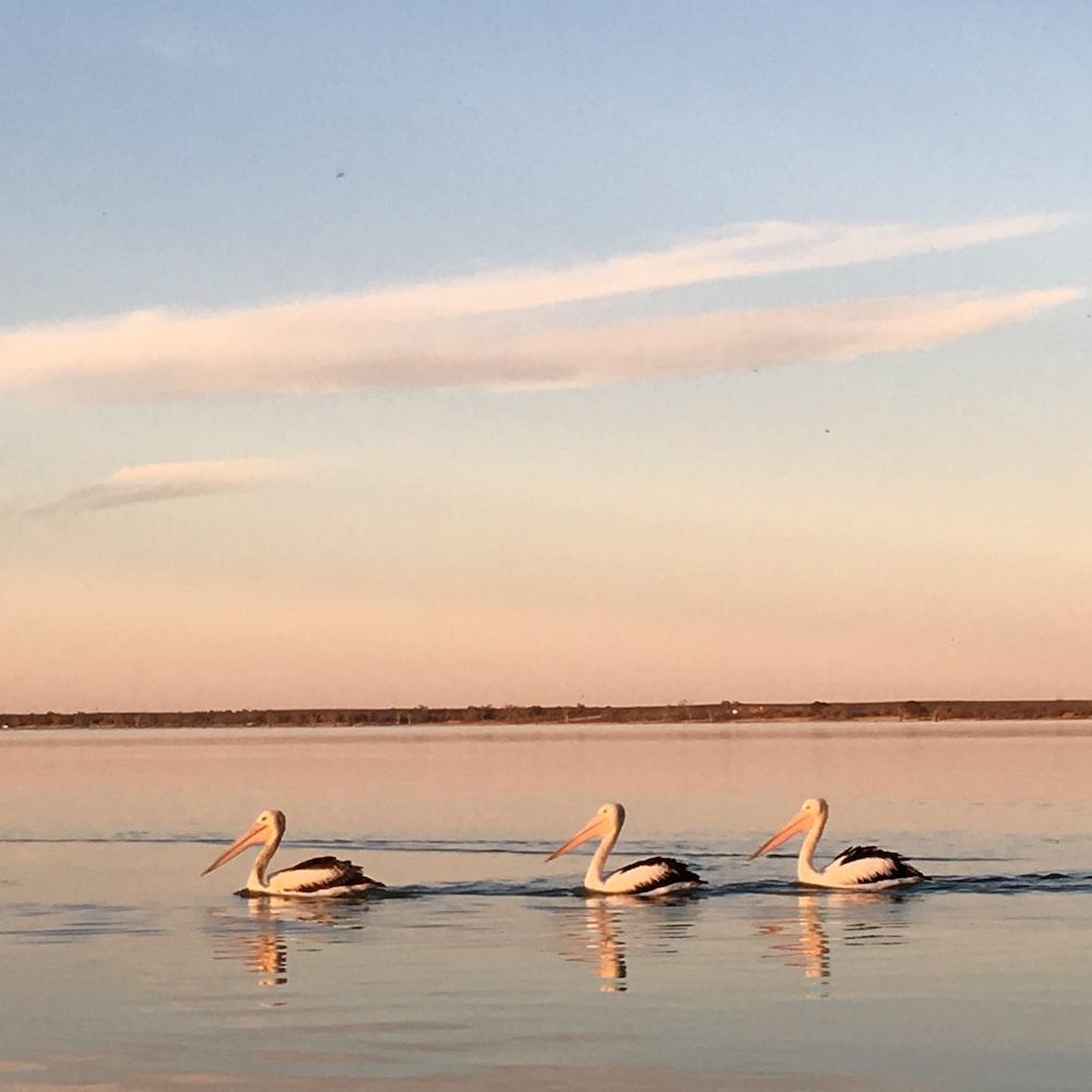 three white swan photograph
