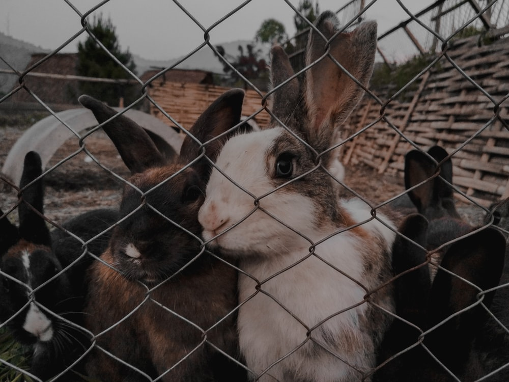 brown and white rabbits near gray stainless steel chain link fence