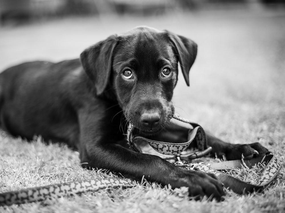 grayscale photography of Labrador retriever puppy