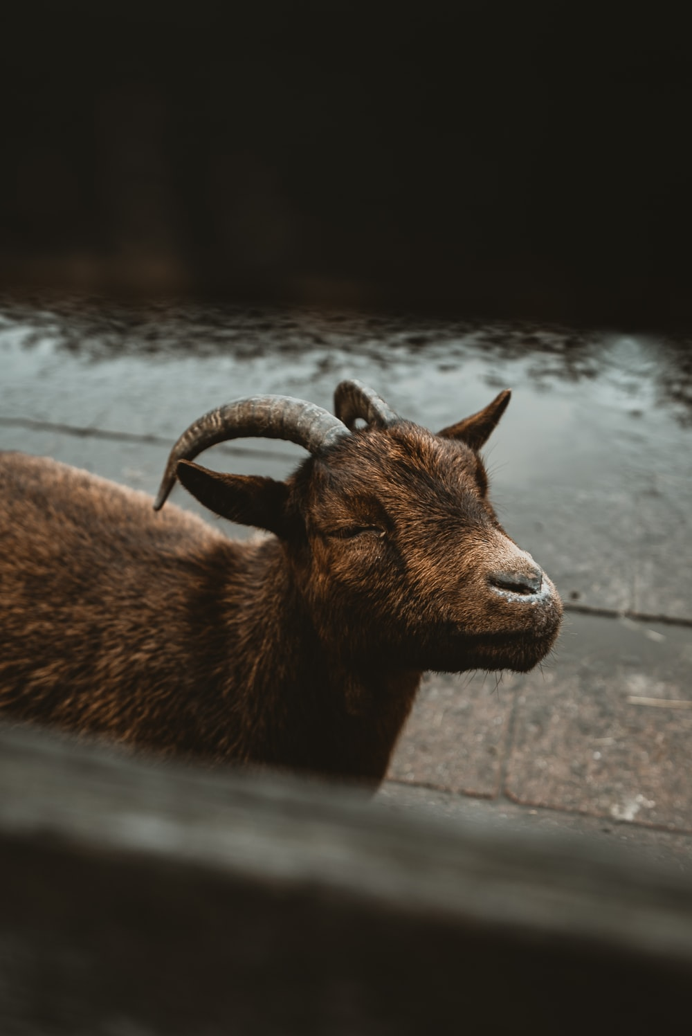 brown coated goat