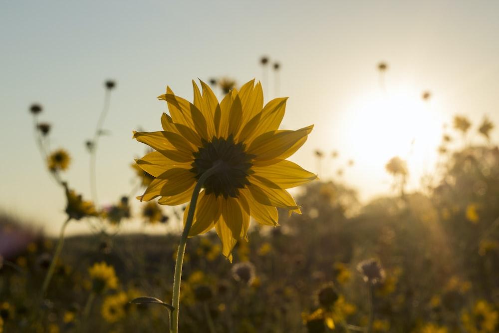 photo of yellow Sunflowers