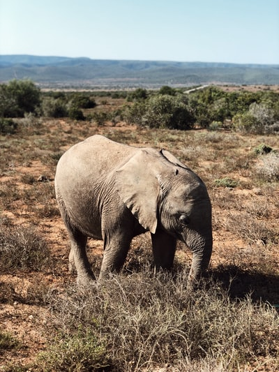 Elephant in Addo Elephant Park.