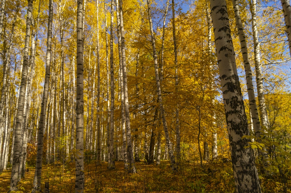 yellow trees forest