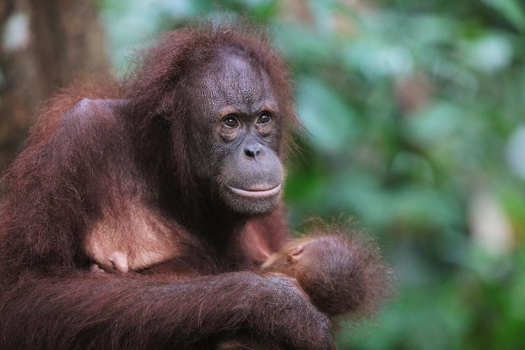 Orangutan Mother & Child.