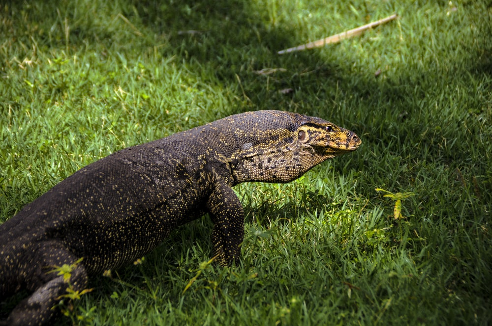 black reptile