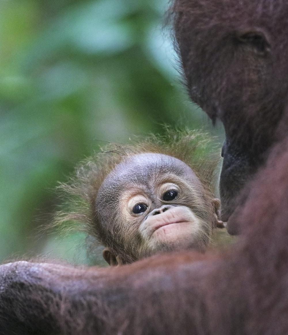 primate beside orangutan