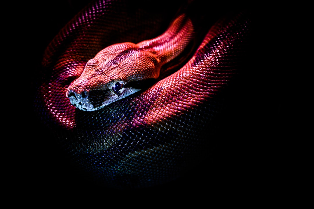 Boa constrictor in the night - snake, reptile, pet