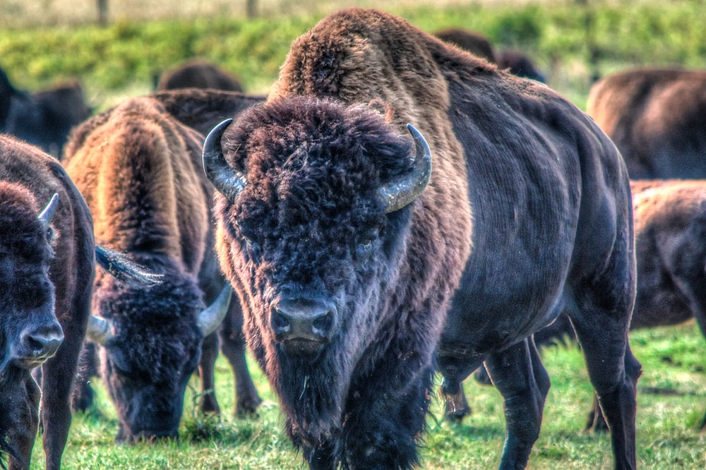 brown bisons on green grass during daytime