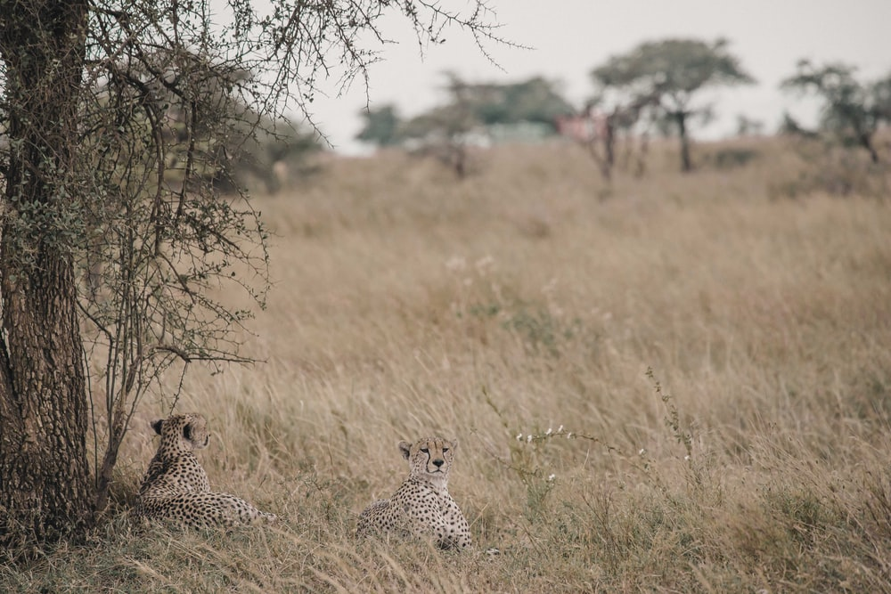 two cheetahs resting under the tree