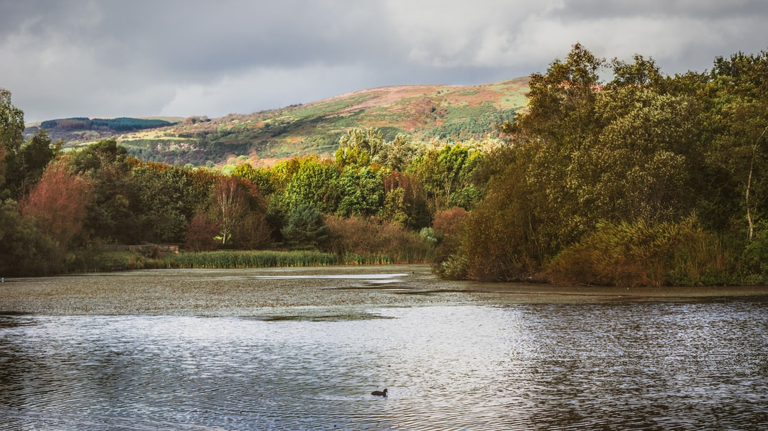 A lone duck swim across Waterworks lake amongst the deciduous trees  displaying their autumnal foliage under Divis Mountain.