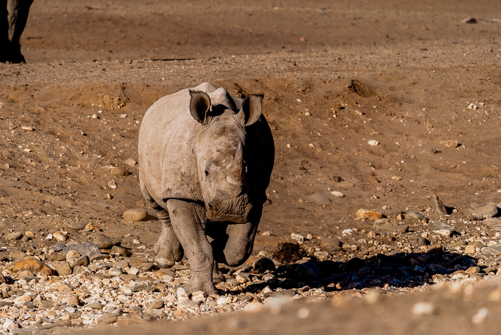 gray hippo on ground
