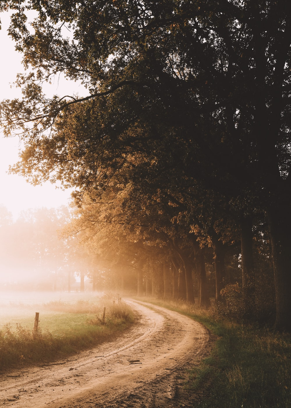 unpaved road near tall trees with fog