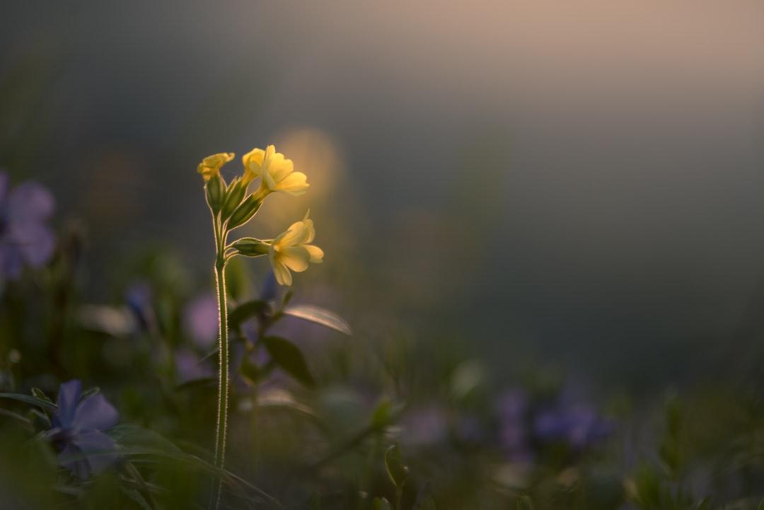 Cowslip (Primula veris) in the evening light