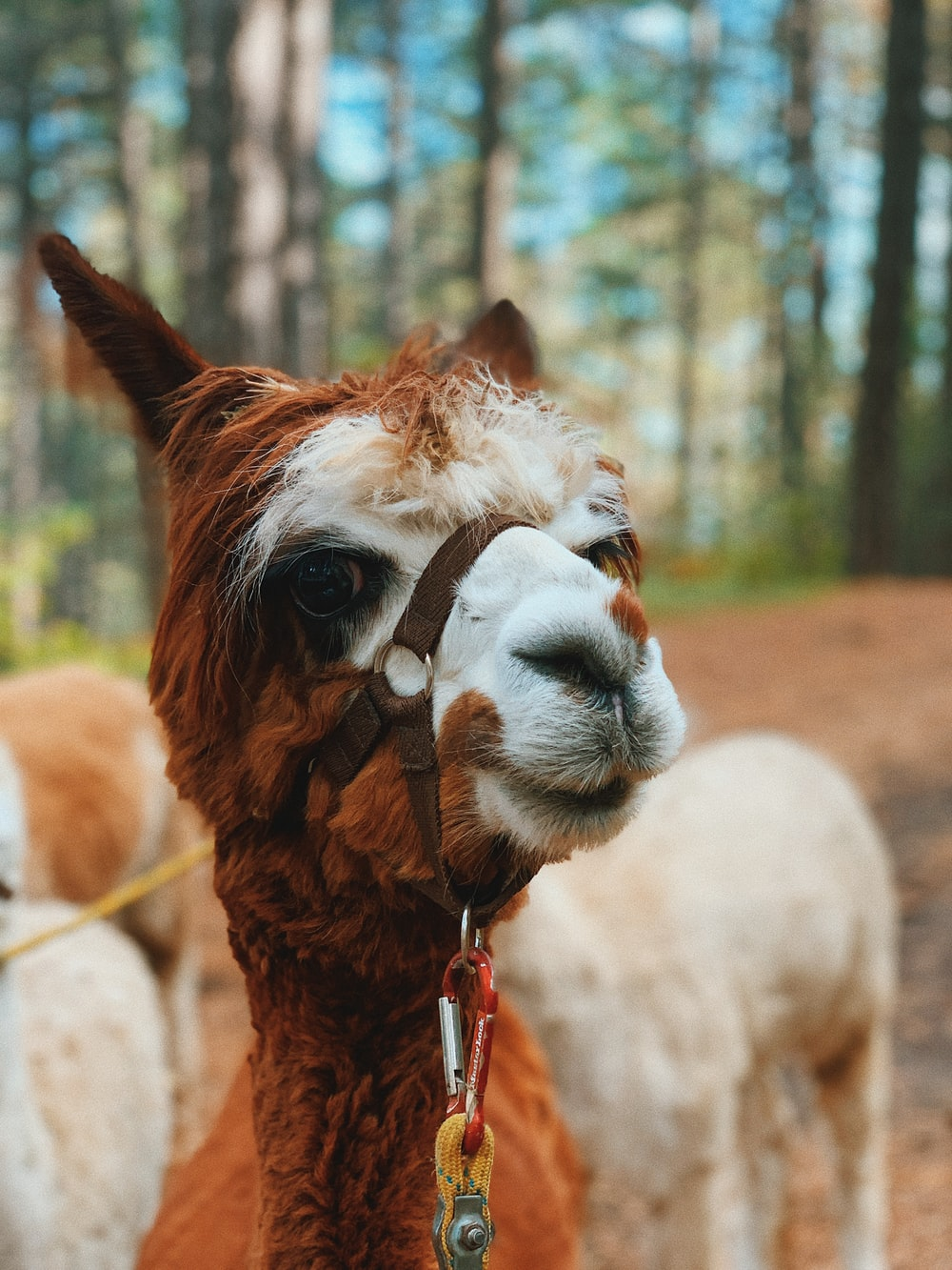 brown and white llama