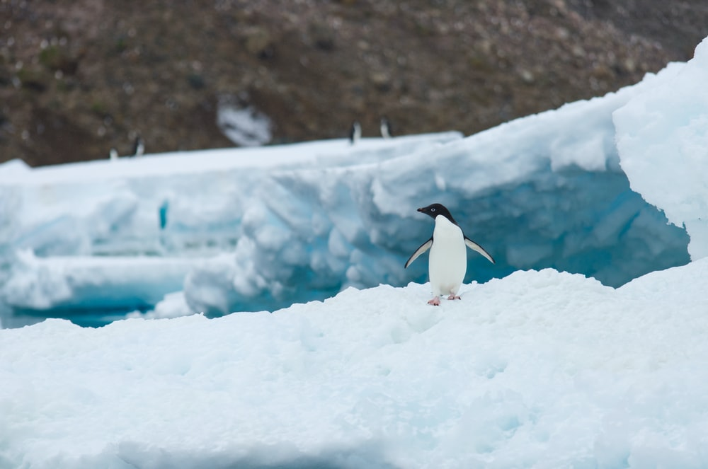 white and black penguin on ice