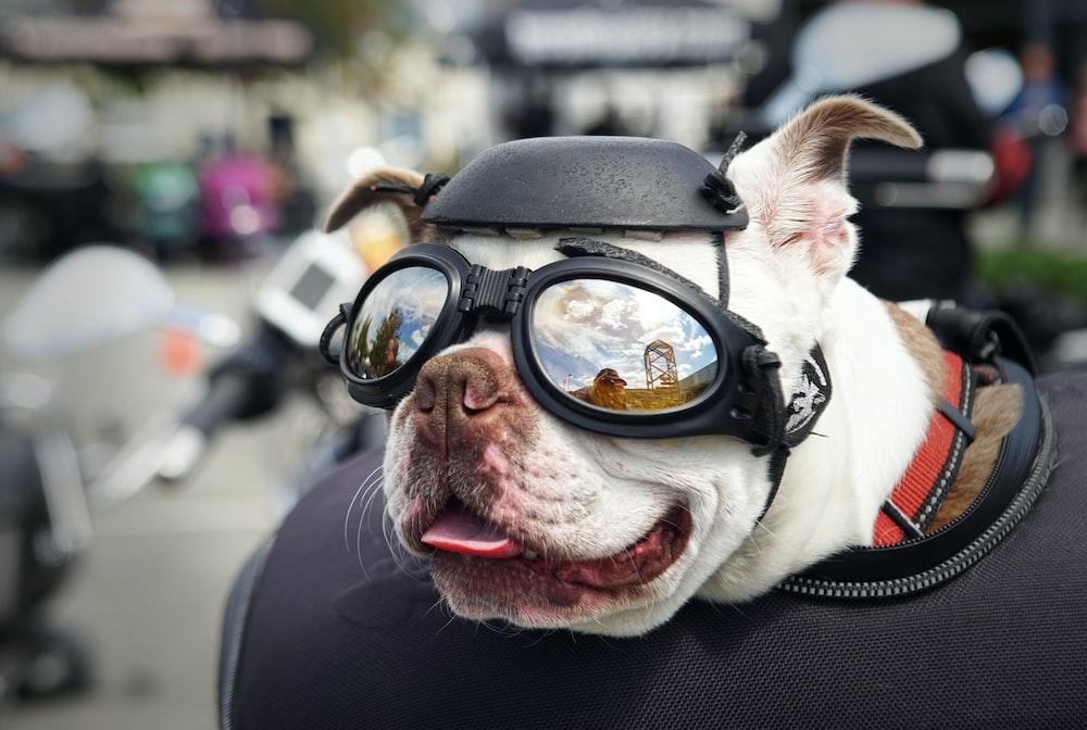 white French bulldog wearing sunglasses