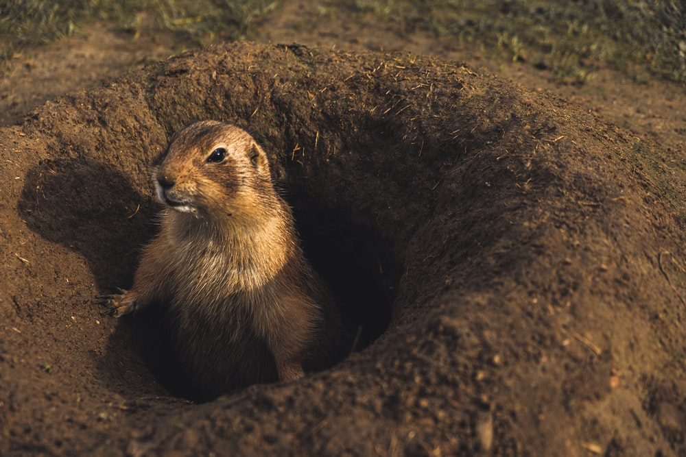 prairie dogs in lubbock